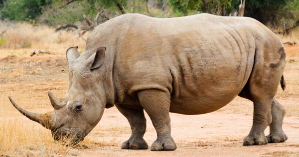 Research to Help Save the Rhino